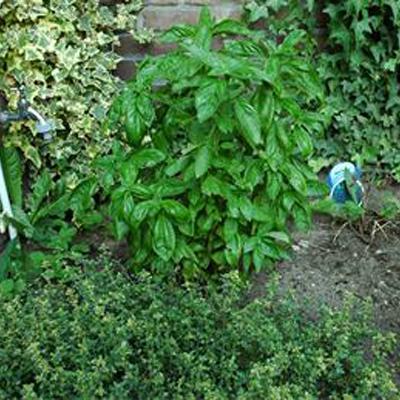 Basilicum kweken in de tuin