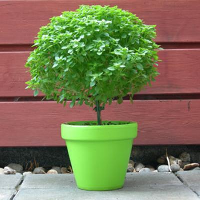 Bonsai basilicum