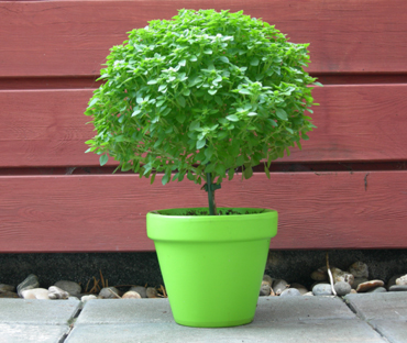 bonsai_basilicum-1
