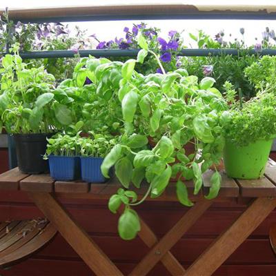 Pesto van basilicumplantjes
