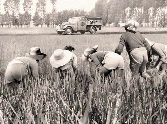 riso gallo rijstveld