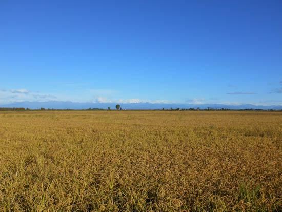 risotto veld
