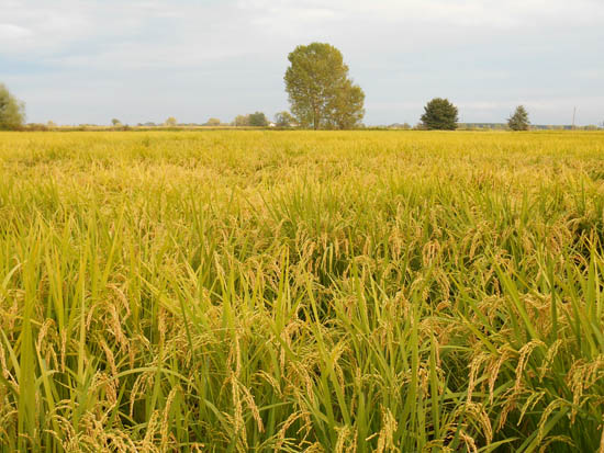 rijstveld-1